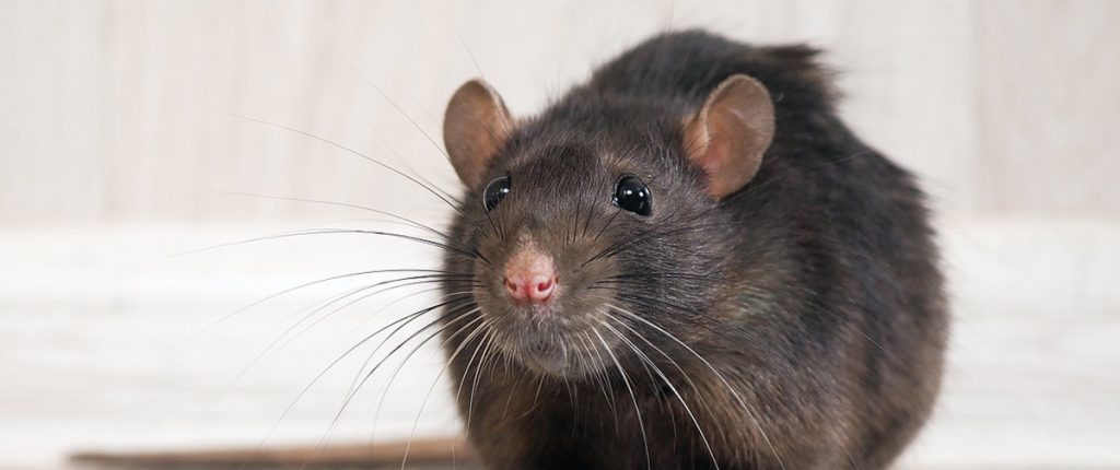 rodent-bug-flip